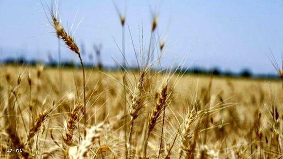 خرید تضمینی گندم به ۵ میلیون تن رسید/ افت ۳۰ درصدی تولید نسبت به سال قبل