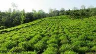 تنها 30 درصد از چای شمال ایران جزو چای درجه 1 به حساب نمی آید