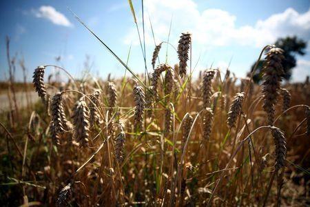 افزایش چشمگیر قیمت گندم در اروپا