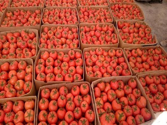 قیمت گوجه دوبرابر شد / عرضه گوجه فرنگی در بازار کاهش یافت