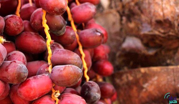 بر روی صادرات خرما عوارض تعیین می شود