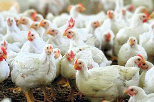 افزایش ۴۰۰ تومانی قیمت مرغ در بازار /  هر کیلو ۱۴ هزار تومان