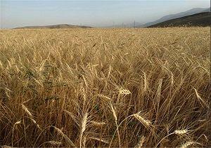 فردا آغاز خرید گندم از کشاورزان