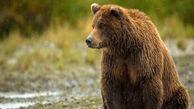 یک چوپان توسط حمله خرس مجروح شد