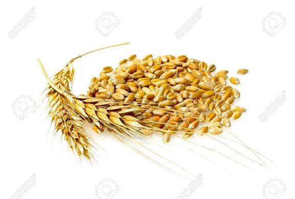 واقعی سازی نرخ گندم در بورس کالا /  قیمت خرید تضمینی دولت بهت برانگیز است