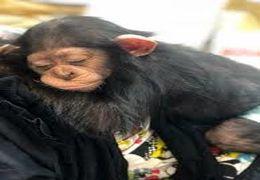 مرگ در یکقدمی تنها بچهشامپانزه ایرانی