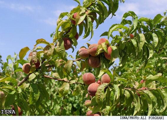معرفی میوه های جدید  به بازار کشور