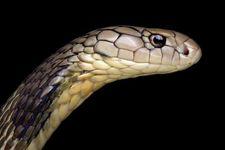 منشأ اصلی ویروس کرونا دو گونه مار است+ عکس