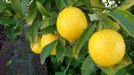 تولید لیموترش در کشور به قدر کفایت است/واردات لیموترش را ممنوع باید کرد