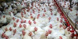 ستاد تنظیم بازار صادرات مرغ را آزاد اعلام کرد