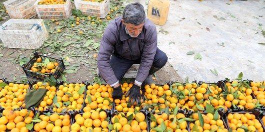 توزیع میوه شب عید 20 درصد زیر قیمت خرده فروشی
