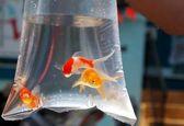 ماهی های قرمز شب عید کرونا دارند؟