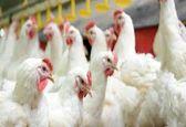 چرا قیمت مرغ هر روز افزایش می یابد؟