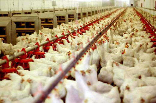 هزینه تولید مرغ و تخم مرغ کاهش یافت/ مرغ ارزان می شود؟