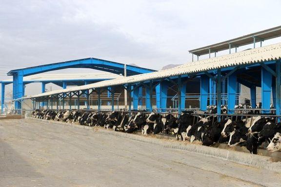 تعداد فروش گوساله نر کاهش یافته است