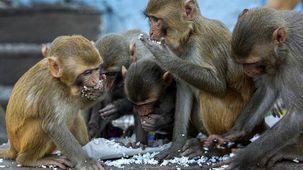 دزدیده شدن نمونه خون بیماران کرونایی توسط میمون ها در دهلی