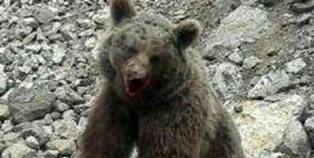 ضاربان توله خرس تلف شده در سوادکوه شناسایی شدند