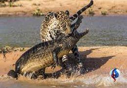 حمله دیدنی پلنگ به تمساح