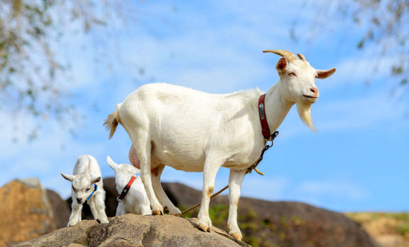 افزایش 20 درصدی تعداد دام در کشور / وجود 52 میلیون بز و گوسفند در کشور