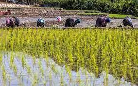 دلایل گرانی برنج ایرانی/ سطح زیر کشت ارقام کیفی کم شد