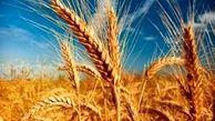 نرخ خرید تضمینی گندم برای سال زراعی جدید ابلاغ شد
