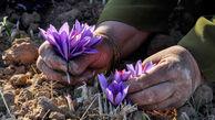 گیلان می تواند قطب تولید زعفران باشد
