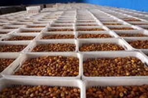 صادرات بیش از 53 میلیون دلاری خرما طی چهار ماهه ابتدای سال