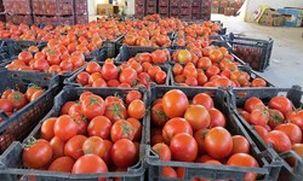 گوجه ارزان می شود/ صادرات گوجه ممنوع شد