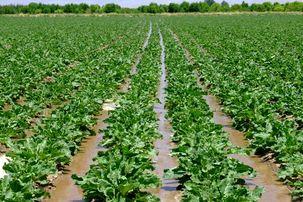هرکیلو چغندر هزارتومان توسط دولت از کشاورزان خریداری می شود