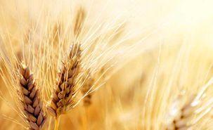 قیمت گندم در دنیا افزایش یافت