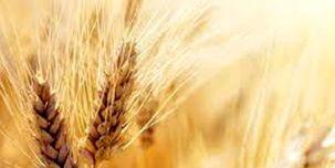 کاهش قیمت ذرت و گندم در بازارهای جهانی