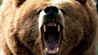 حمله خرس چوپان بابلی را روانه بیمارستان کرد