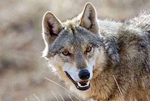 گرگهای گرسنه چهار نفر  از اهالی یک روستا را زخمی کردند