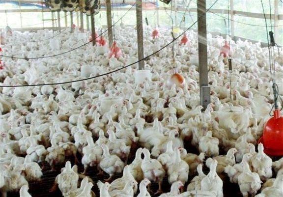 مرغداران با کمبود دان مرغ مواجه هستند