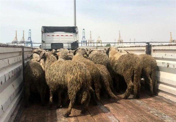 داستان گوسفندهای دم دراز چیست؟/عکسی که در فضای مجازی جنجال ساز شد