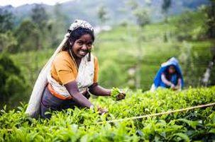 واردات چای سریلانکا کاهش پیدا کرد