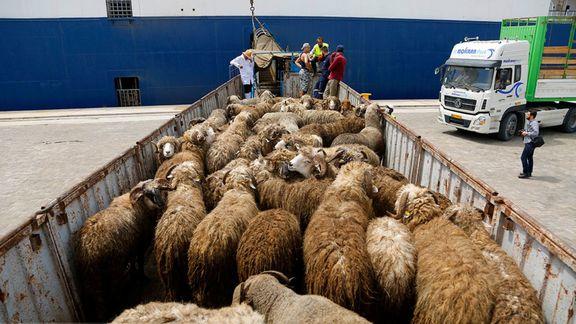 ممنوعیت صادرات دام زنده در سال 99 لغو نمیشود