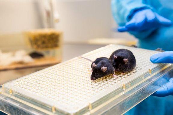 موش حتی برای درمان آلزایمر هم آزمایش می شود